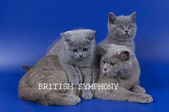 Британские котята питомника british symphony