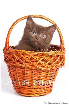 """котята купить в питомнике """"Британская ..."""