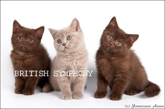 Британцы коты шоколадные
