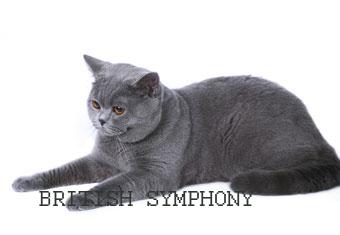 Британская кошка голубого окраса winter